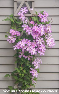 Clematis Carolyn Hollenbeck