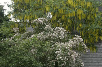 Laburnum x watereri <em>Carolyn Hollenbeck</em>