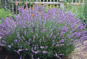Lavandula angustifolia <em>Carolyn Hollenbeck</em>