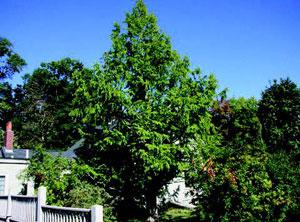 Metasequoia glyptostroboides <em>Carolyn Hollenbeck</em>