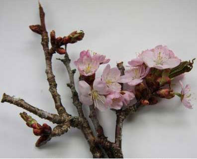 Showy pink flowers of Prunus sargenti <em>Carolyn Hollenbeck</em>
