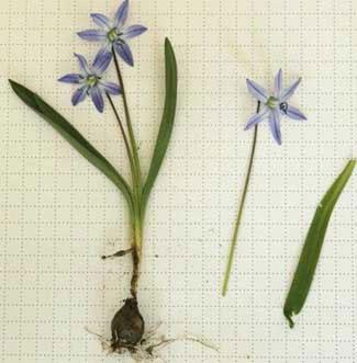 Scilla siberica flowers <em>Carolyn Hollenbeck</em>
