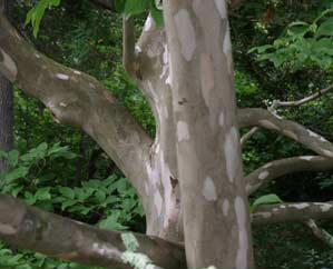 Stewartia koreana exfoliating bark <em>Carolyn Hollenbeck</em>