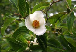 Stewartia koreana's flower and buds <em>Carolyn Hollenbeck</em>